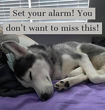 husky, alarm, party, snooze